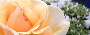 YellowRose_WhiteAzalea_380x150